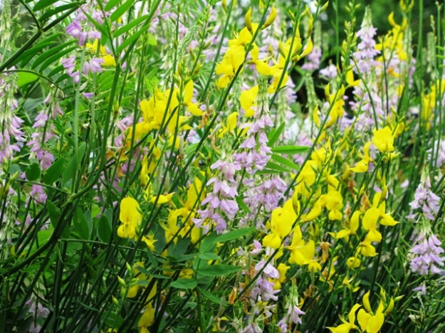 Cottage gardening is about combinations both deliberate and by chance – in this case a vetch and a broom.