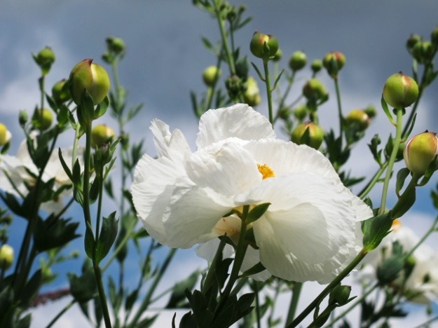 Romneya coulteri - the Californian tree poppy