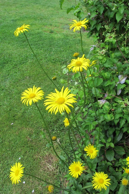Doronicum orientale, not as was fixed in my mind, a geronicum