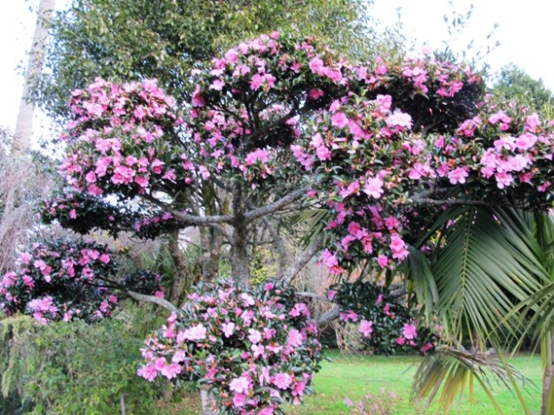 Camellia Elfin Rose, cloud pruned in layers to give an accent point