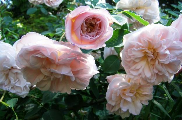 Cymbeline, on of the David Austen roses
