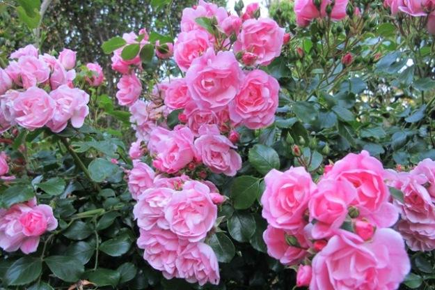 Rose Flower Carpet Appleblossom