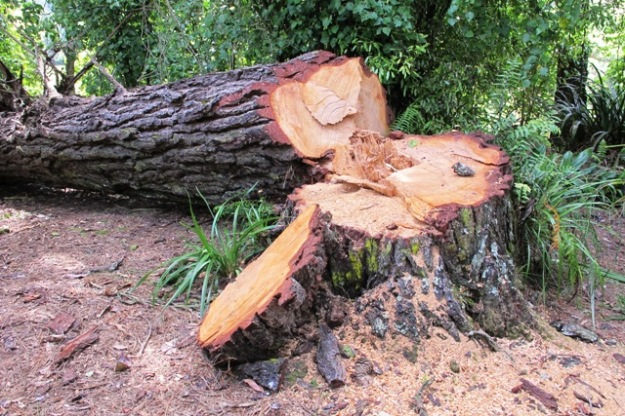 A recently fallen pine tree needed some chainsaw work to tidy up the remains but the trunk will be left to lie where it is and we will garden around it