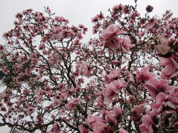 The original Magnolia Iolanthe in our garden here last spring