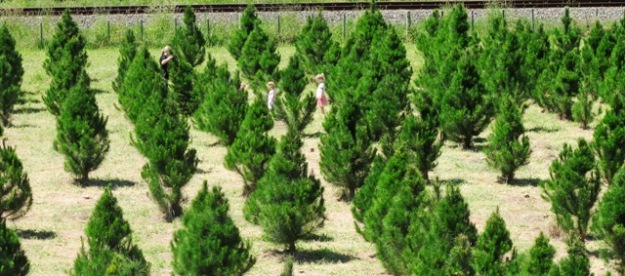 Choosing exactly the right tree was a family affair although the choice is Pinus radiata or Pinus radiata