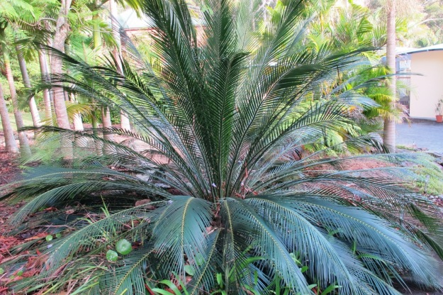The macrozamia is equally popular as a garden plant