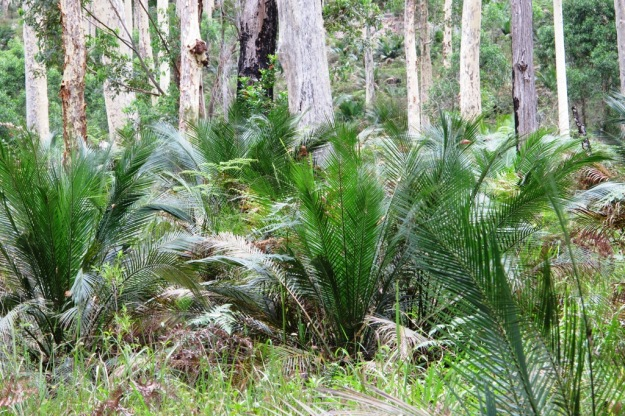 I admit not everybody will find a woodland understory of native cycads exciting but we were pretty taken with this natural phenomenon