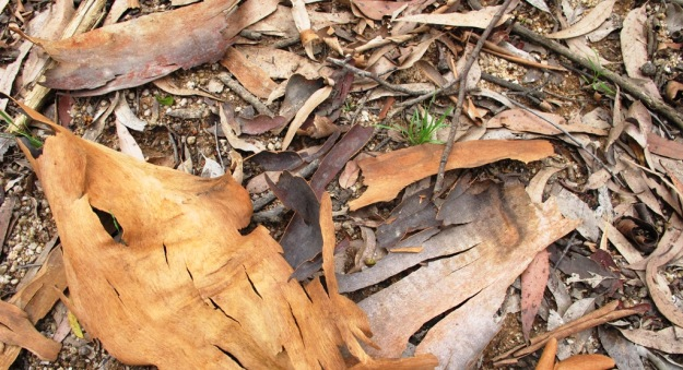A carpet of bark, leaves and debris from the top layer of eucalypts creates conditions which discourage many other plants