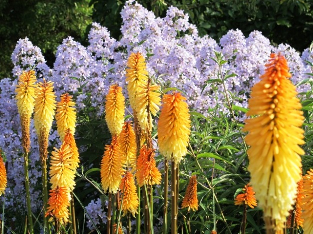Kniphofia, combined here with tall growing Campanula lactiflora, in the classic, long herbaceous borders at Hilliers Arboretum in Hampshire last June