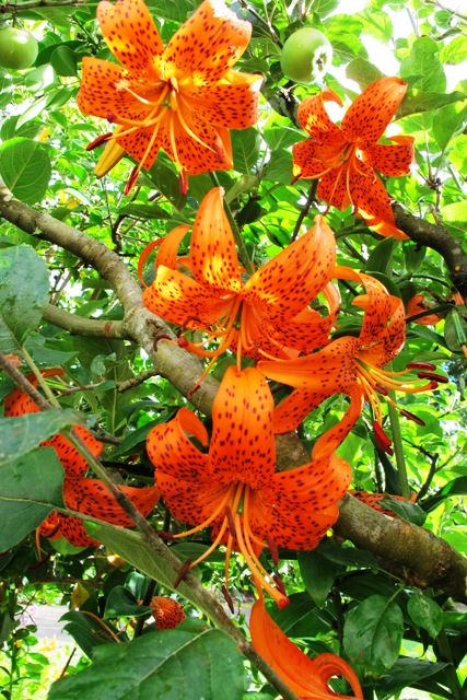 Orange tiger lilies growing through the espaliered apple trees