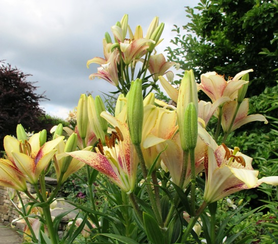 The lily we scorned at Wisley