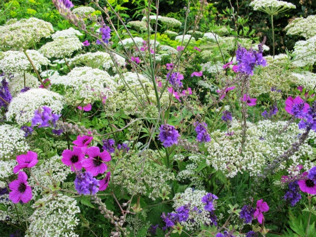 Geraniums, linaria and one of the white umbelliferous plants of the Queen Anne's Lace type at RHS Wisley Garden