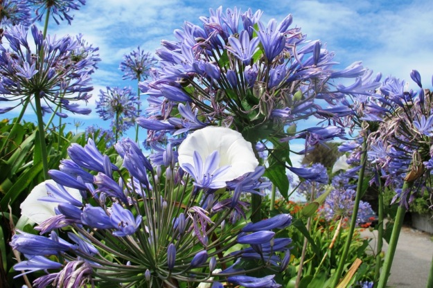 Pretty by the road to town. The convolvulus IS a problem and agapanthus come in for a lot of criticism in NZ.