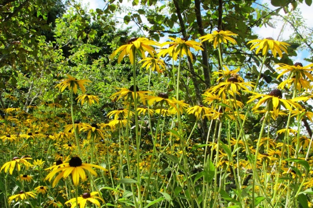 Underplanting on the orchard hillside - rudbeckia again