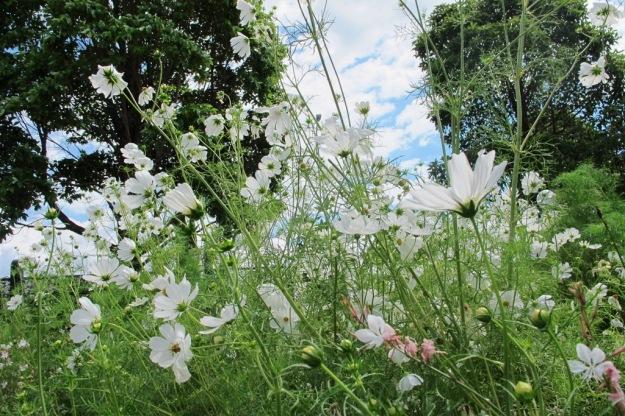 White cosmos in a front garden
