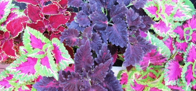 Coleus, I regret to inform you, appear to be staging a comeback if what I saw in Auckland at the weekend is any guide
