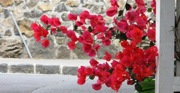 The bougainvilleas were repeated throughout the garden, carefully managed in small spaces and looking vibrant.