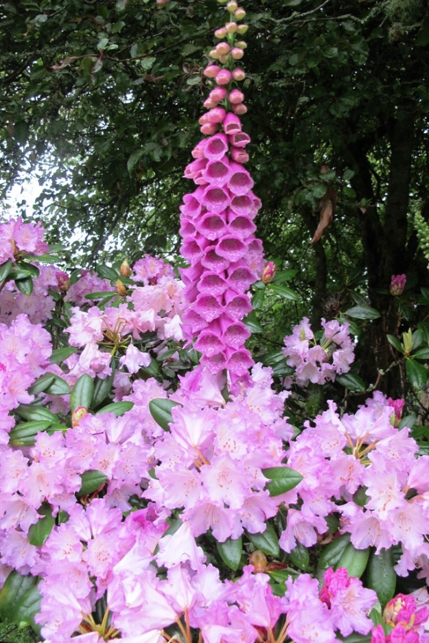 Common Digitalis purpurea seen here with Rhododendron Caroline Allbrook