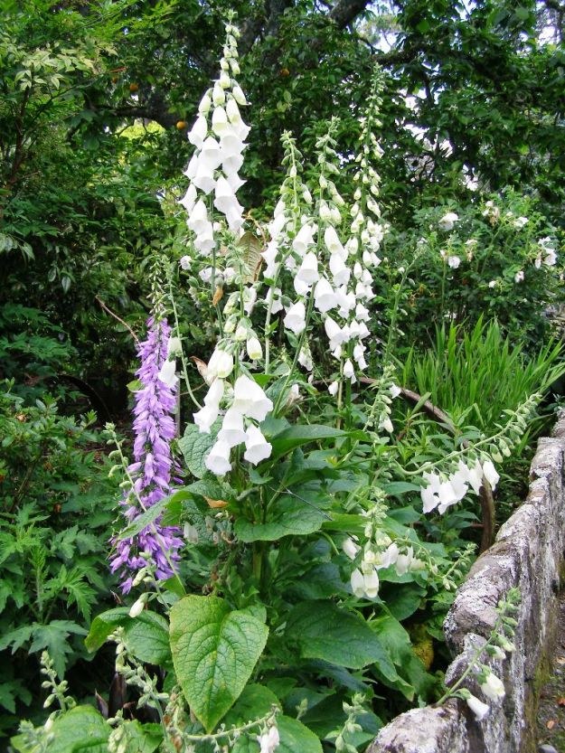 White foxgloves, though at Tikorangi, not Hidcote