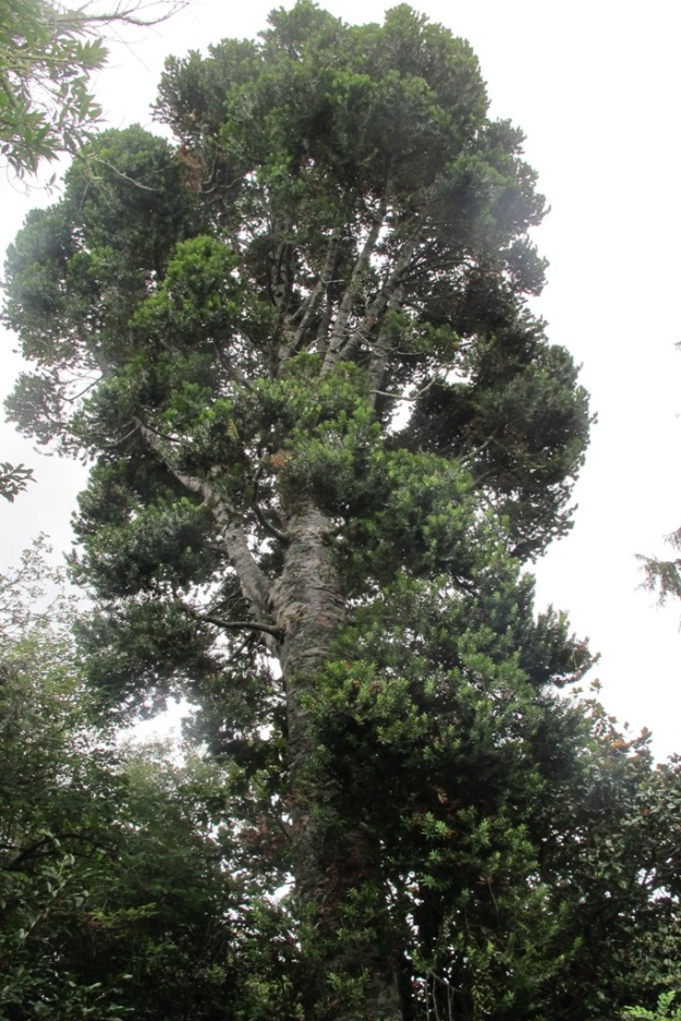 Our own kauri is but a young tree at 65 years