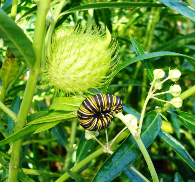 Swan plants are the food source for monarch caterpillars