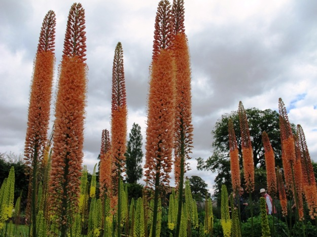 Eremurus - but in Yorkshire not Tikorangi