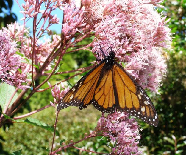 Joe Pye weed is a handy source of nectar for the monarch butterflies. We have always known Joe Pye as a eupatorium but it has now been renamed Eutrochium purpureum