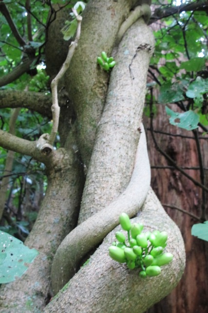 Vines are large as human limbs on our native T. speciosa