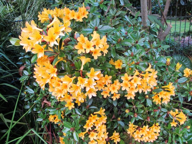 The late Os Blumhardt had a major breeding programme on vireyas and gave us a number of his seedlings, including this good performing one in our swimming pool garden. It is reliable and healthy rather than outstandingly showy