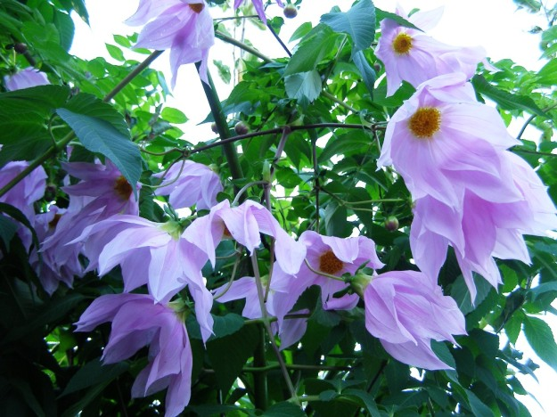 Dahlia imperialis, my personal favourite