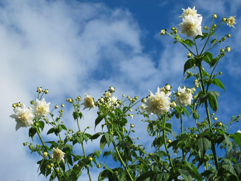 Dahlia imperialis Alba - soaring skywards as winter descends upon us