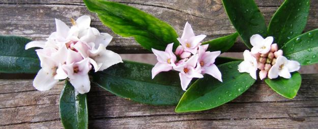 Perfume Princess to the left, centre is a large flowered D. odora 'Grace Stewart', right is a normal sized Daphne odora