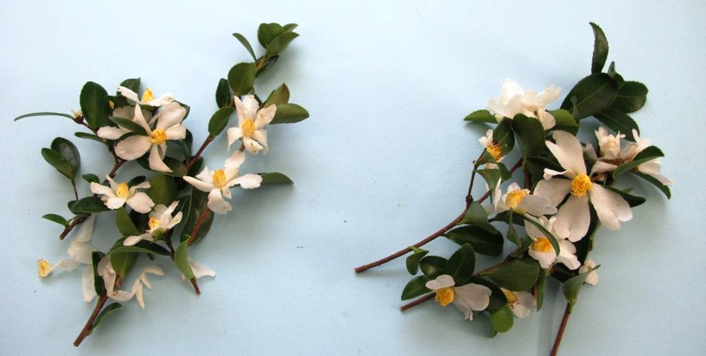 Camellia brevistyla left, microphylla right. They look mighty similar to us.