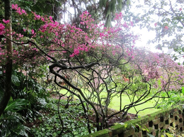 The Kurume azaleas, underplanted with Cyclamen hederafolium