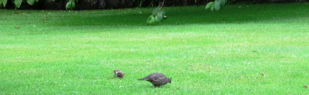 Mama Quail and two little feathered bumble bees of babies feeding on the lawn