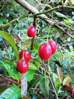 But at least I have red tamarillos on file