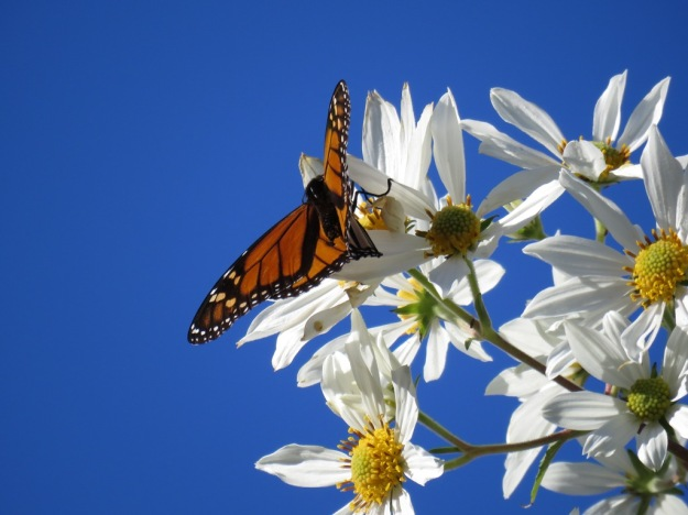 I admit I probably took eleventy thousand photos of the monarchs this week
