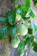 I lack a photo of passionfruit at the purple stage  of ripening