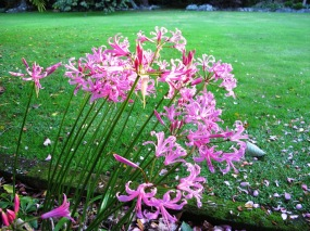 Nerine bowdenii on May 11
