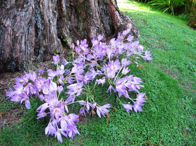Colchicum autumnale flowering at the base of a metasequoia