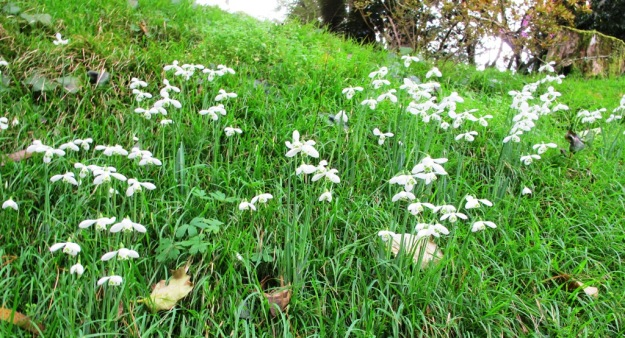 Snowdrops on a hillside