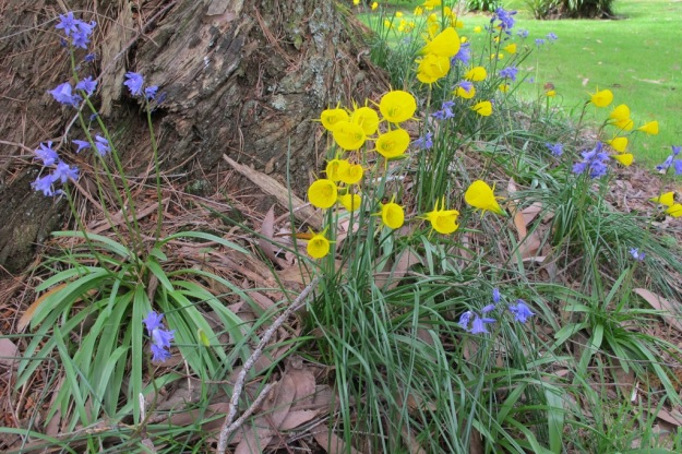 Bluebells and hooped petticoats (Narcissus bulbocodium) planted at the base of a eucalypt
