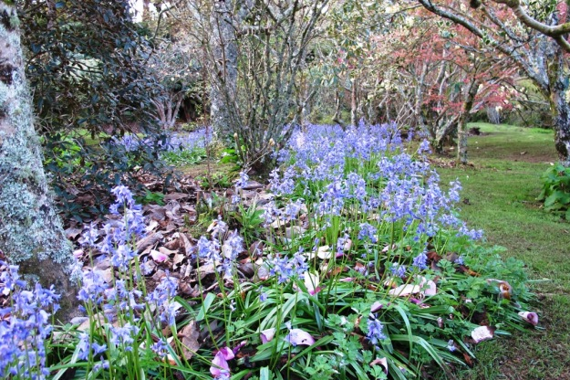 Bluebells planted on the margins, drifting through our park area