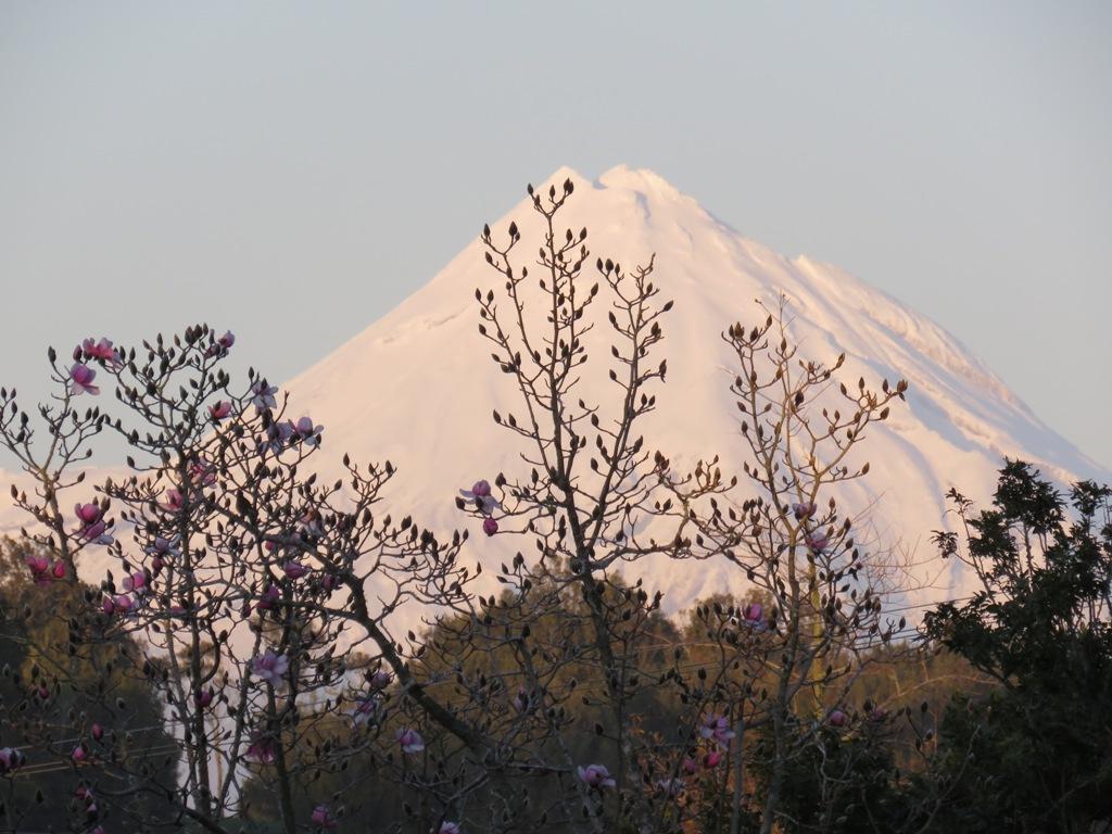 Magnolia campbellii in our park and Mount Taranaki