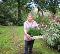 Carrying a tray of Nerine pudica, in case you are wondering (which I admit I planted in the rockery, not in meadows)