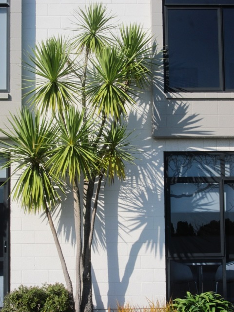 Cordyline australis outside Devon Hotel