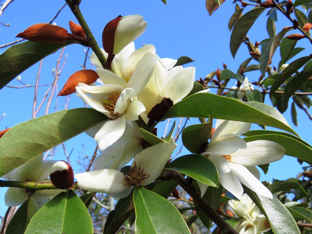 Mark's Fairy Magnolia White