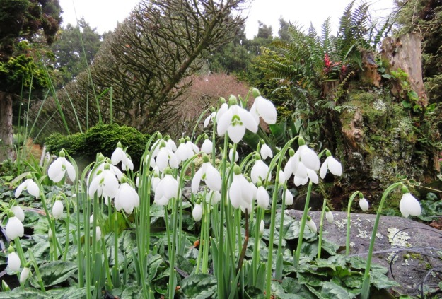 Galanthus - the winter snowdrops