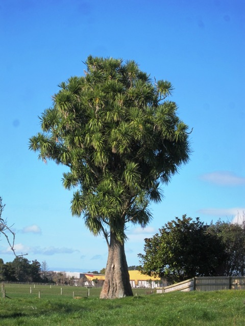 Cordyline australis at a grand old age near Waitara