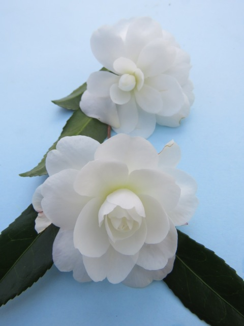 Early Pearly - the loveliest of sasanqua camellia flower forms